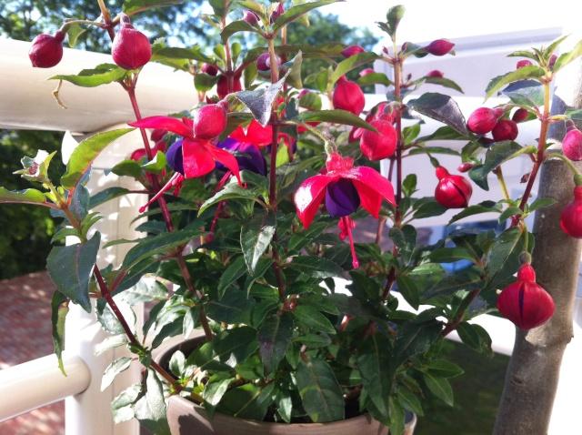 Le Fuchsia-culture et entretien Image10